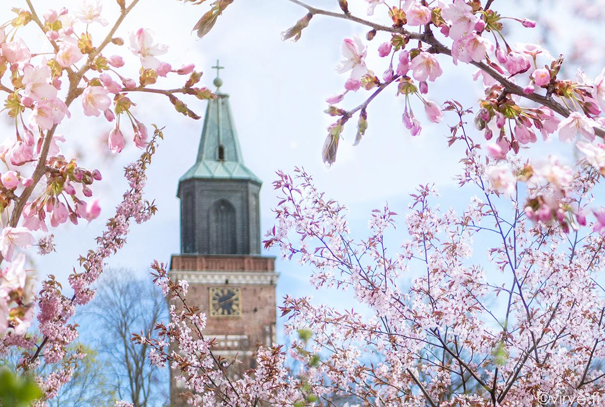 Kirsikankukkia pääsee ihastelemaan karanteenissakin